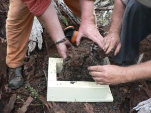 An intact hive is transferred from log to box